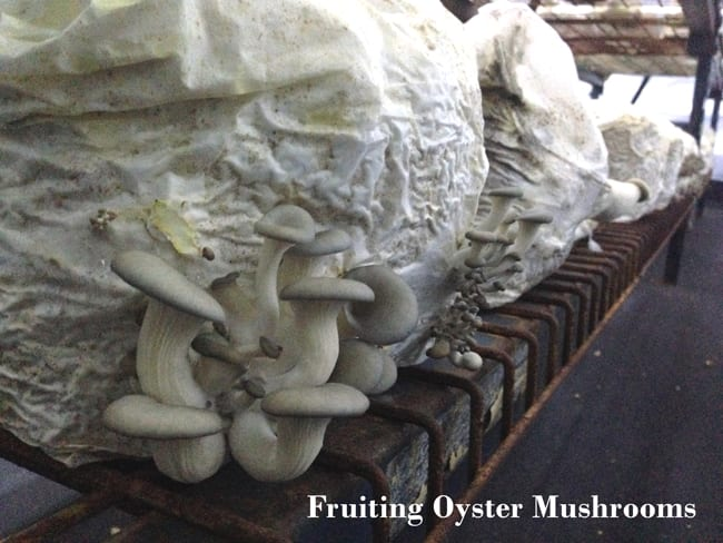 Fruiting oyster mushrooms sawdust to organic compost wood from the hood mississippi mushrooms