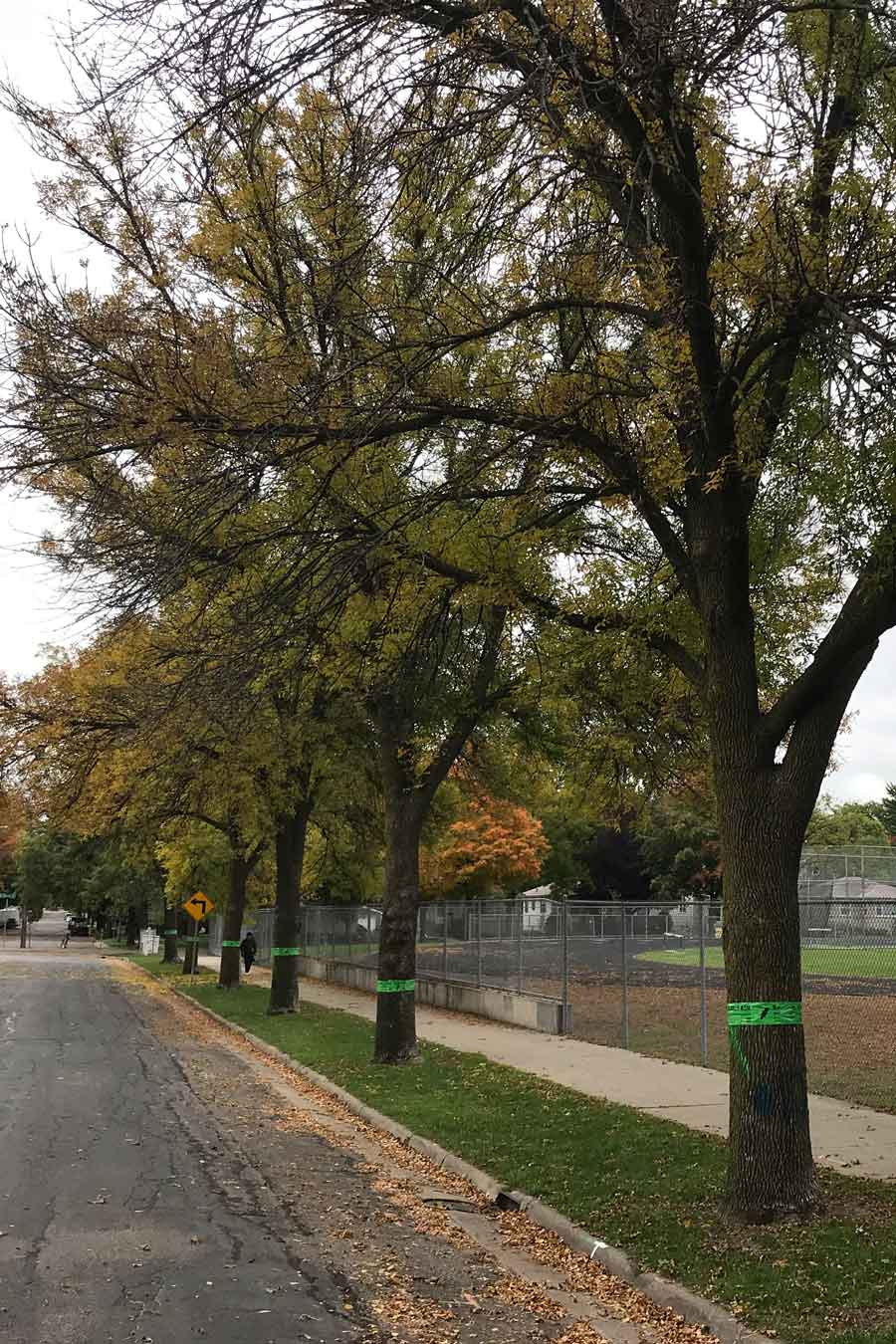 Emerald Ash Borer Trees Wood From the Hood